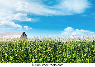 Corn field with barn and blue skies in background