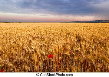 Corn field with lone poppy. Italy
