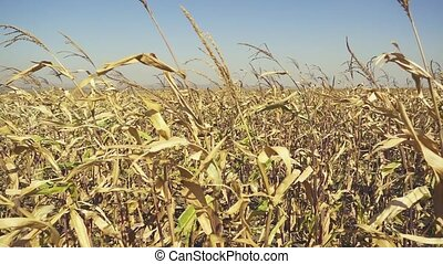 Corn field with ripe corn slow mo - Corn field with ripe...