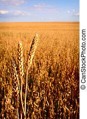 Corn field with three ears