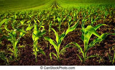 Corn field with young plants and dark fertile soil