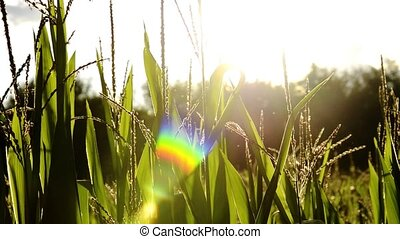 corn fields, backlight