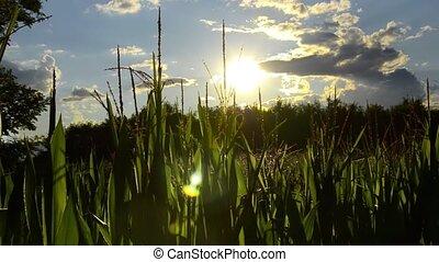 corn fields, backlight - Agriculture, farming, corn fields...
