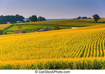 Corn fields in rural York County, Pennsylvania. - Corn...