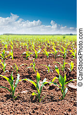 Corn fields sprouts in rows in California agriculture ...
