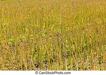 corn fields with corn ready for  harvest