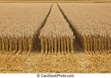 corn fields with corn ready for harvest - golden corn fields...