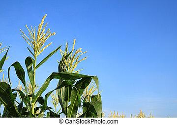 Corn flower in blue sky
