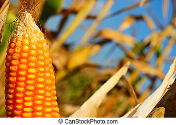Corn for background