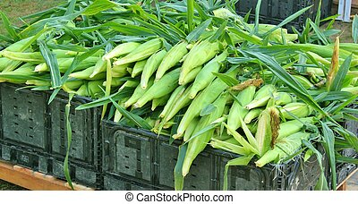 Corn - freshly harvested 3