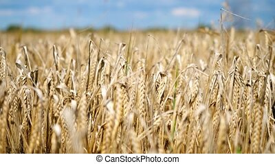 Corn gold wheat field and blue sky with clouds. - Corn Gold...
