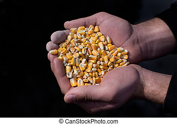 Corn grains in peasant's hands