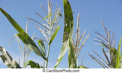 Corn Growing. Blue sky background. Ecological Farmer,...