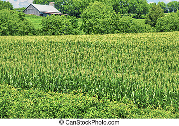 Corn Growing in Tennessee