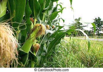 Corn growing on a farm