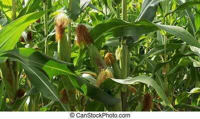Corn grows in the field. Close-up. Summer day.