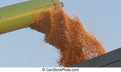 Corn harvest, grain auger of combine pouring crop, slow...