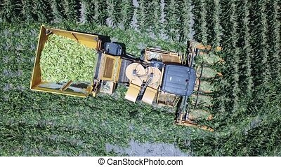 Corn harvester at large filed of Sweet Corn cobs. Harvest machine.