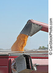corn harvesting - corn is pouring to the truck in the...