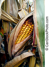 Corn Husk on Farm in Markham Ontario