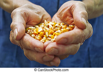 Corn in hands