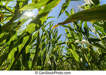 Corn maize field growing on in rays