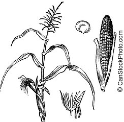 Corn, Maize or Zea mays, vintage engraving. Old engraved illustration of Maize with Corncob isolated on a white background.