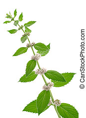 Corn mint flowers and leaves