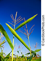 corn on a background of the sky