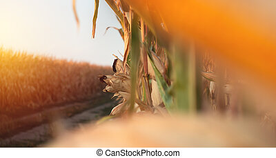 Corn on a cornfield in the evening