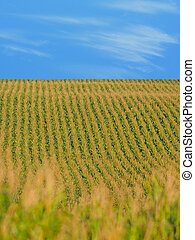 corn on a farm in the Midwest