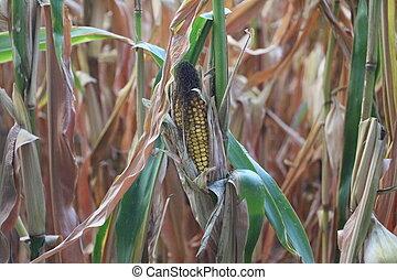 Corn on a field