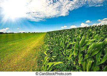 Corn on farmland in summer