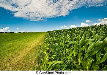 Farmland in summer with fresh green grass, corn field and bright blue sky