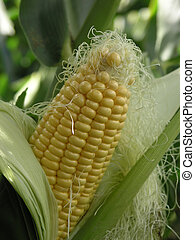 A sweetcorn cob on the plant peeled back to show the corn.