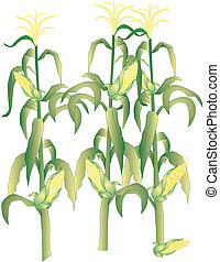 Corn on the cob stalks illustration - Corn on the stalks,...