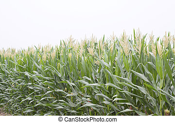 corn plant features in the fields