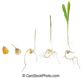 Corn plant growing from seed to seedling isolated on white