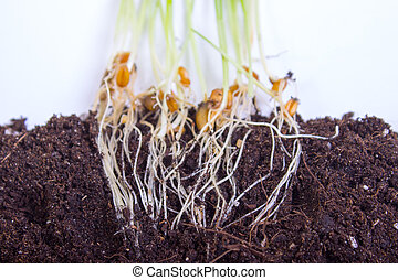Corn plant growing from seed to seedling isolated