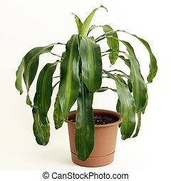 Dracaena fragrans or cornstalk Dracaena house plant in a brown plastic pot in front of a white background.