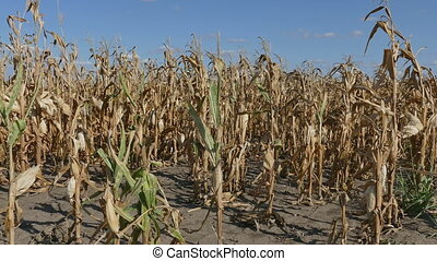 Corn plant in field after drought - Corn plant in field in...