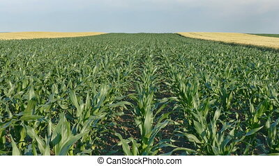 Corn plant in field