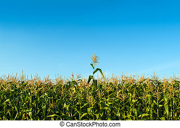 Corn plant sticking out of the rest