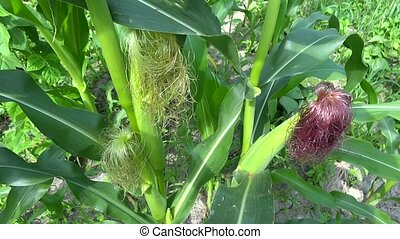 corn plant zoom in