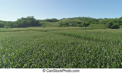 Corn plantations in the Philippines - Green corn fields in...