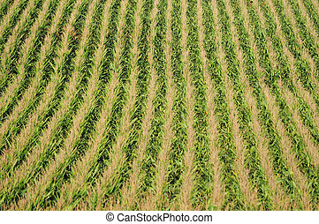 Corn plants and agriculture