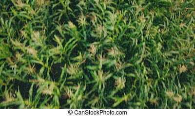 corn plants bird's eye view