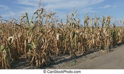 Corn plants field in late summer