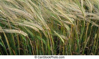 Corn Plants In The Breeze - Corn plants sway in the wind
