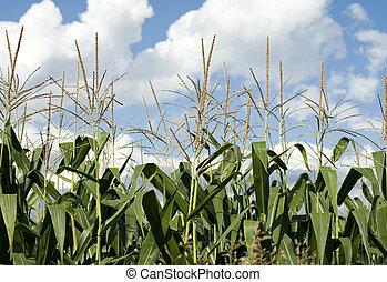 Corn plants on a farm